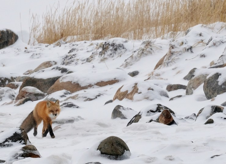 Red fox on the Hudson Bay coast near Seal River Heritage Lodge. Suzanne Morphet photo.