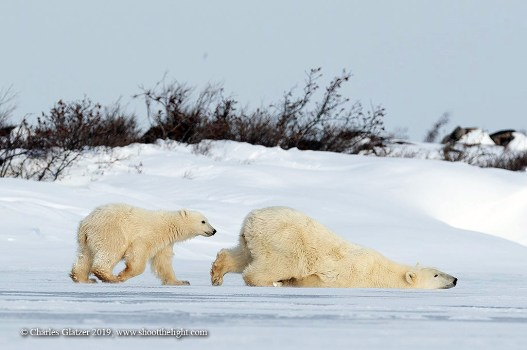 Polar bears slipping and sliding. Seal River Heritage Lodge. Charles Glatzer photo.