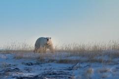 Polar bear says good evening at Seal River Heritage Lodge.