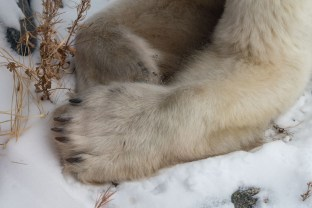 Polar bear Warrior Pete. Holding tight, letting go. Seal River Heritage Lodge.