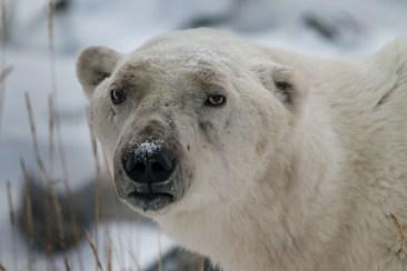 Warrior Pete the polar bear.