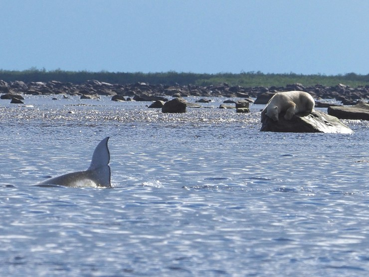 Polar bear patiently waiting for beluga whales while perched atop a boulder in the Seal River. Quent Plett photo.