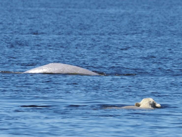 Polar bear swim-stalking beluga whales at Seal River. Quent Plett photo.