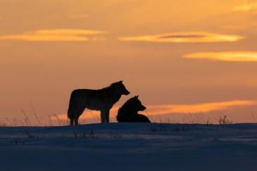 Wolf couple. Nanuk Polar Bear Lodge.