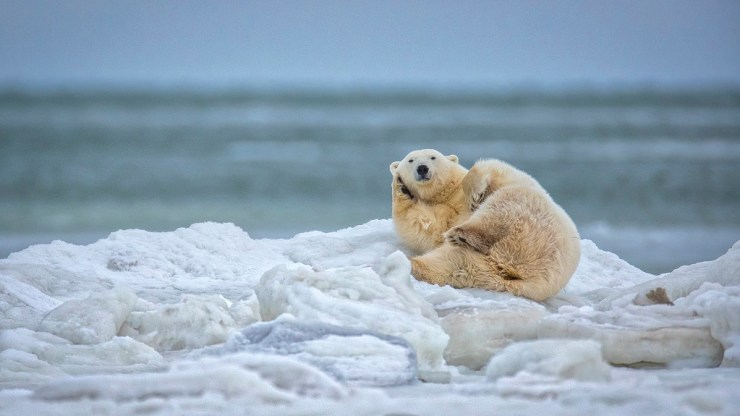 Polar bear making a phone call at Seal River Heritage Lodge. Scott Dere photo.