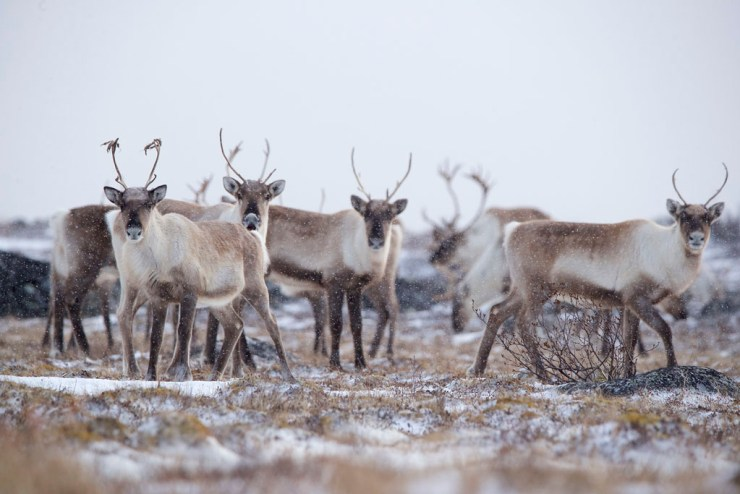 Caribou at Seal River Heritage Lodge. Andy Skillen photo.