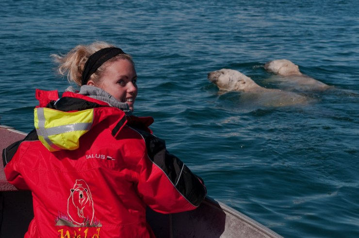 Polar bears swimming in the bay at Seal River Heritage Lodge. Dennis Fast photo.