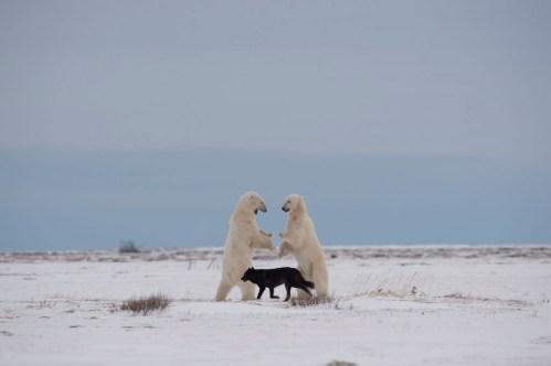 Wolf between polar bears at Nanuk Polar Bear Lodge. Jianguo Xie photo.