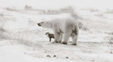 Two against the storm. Polar bear and Arctic fox at Seal River Heritage Lodge. Birgit Duval.