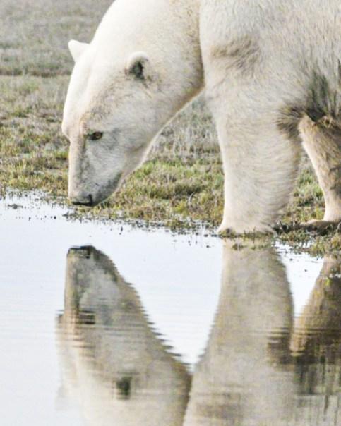 Polar bear takes a drink at Nanuk Polar Bear Lodge. Albert Saunders photo.