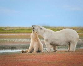 Tender moment. Polar bear mom and cub at Nanuk Polar Bear Lodge. Albert Saunders photo.