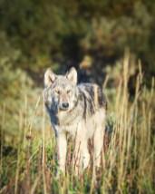 Late summer wolf. Nanuk Polar Bear Lodge. Albert Saunders photo.