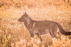 Fall wolf. Nanuk Polar Bear Lodge. Albert Saunders photo.