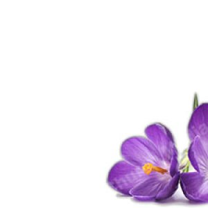 Purple flower white background Christian Worship Background. High quality worship images for use to spread the Gospel and enhance the worship experience.