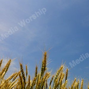 Wheat V3 Christian Worship Background. High quality worship images for use to spread the Gospel and enhance the worship experience.