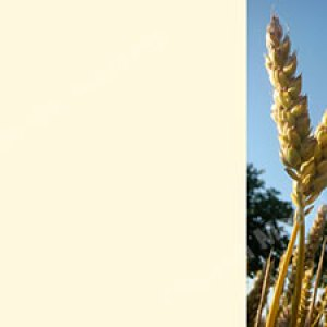 Wheat V6 Cream Christian Worship Background. High quality worship images for use to spread the Gospel and enhance the worship experience.