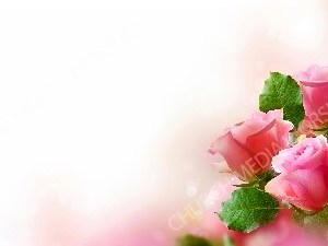 Pink Roses cream trim Background Christian Worship Background. High quality worship images for use to spread the Gospel and enhance the worship experience.