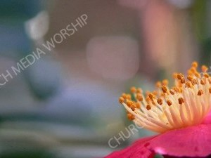 Pink flower yellow stamen Christian Worship Background. High quality worship images for use to spread the Gospel and enhance the worship experience.