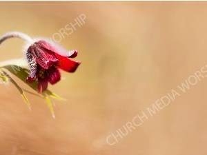 Teardrop red flower Christian Worship Background. High quality worship images for use to spread the Gospel and enhance the worship experience.