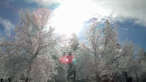 Hoarfrost on trees, background of sun and sky.