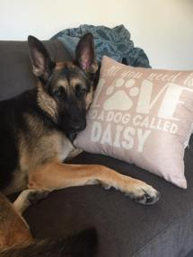 Lola, a Coastal German Shepherd Rescue, loving her sofa at the The Sofa Company in Costa Mesa