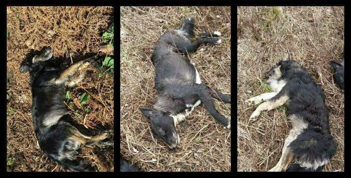 Ennesimo ritrovamento di cani avvelenati
