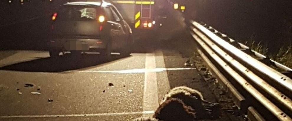 Auto travolge gregge di pecore, ferito il conducente