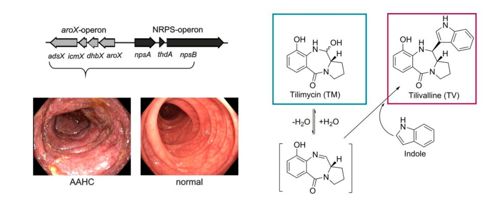 medium resolution of enterotoxins are present in vivo during colitis k oxytoca arox and nrps operons produce tilimycin tm which reacts spontaneously with indole to form