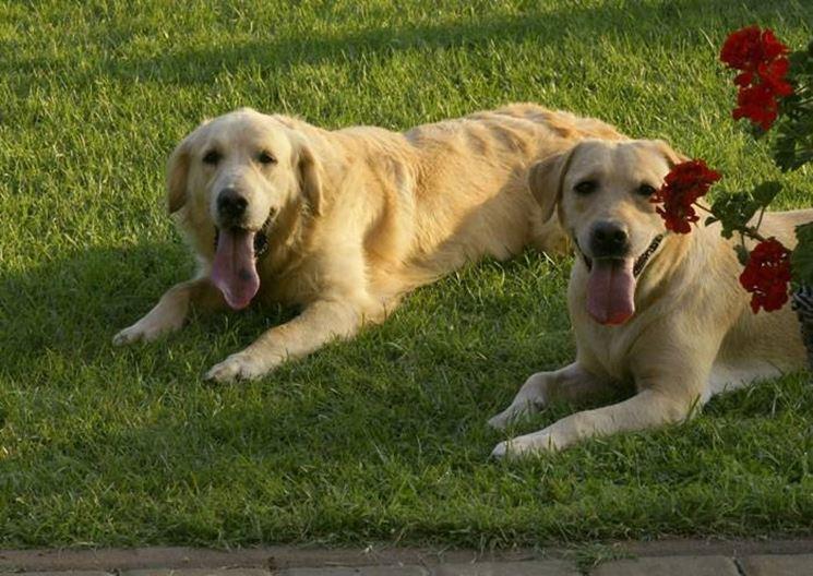 Labrador nero cucciolo  Cani Taglia Grande  Cucciolo di