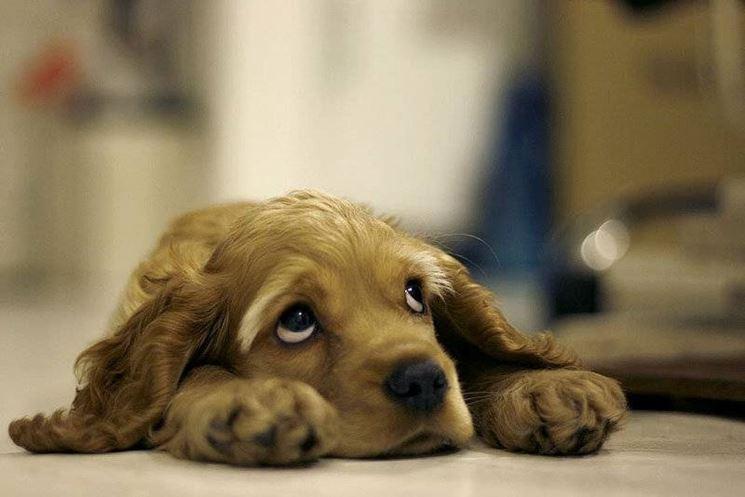 Insufficienza Renale Cane - il Cane - Come si presenta l'insufficienza  renale nel cane