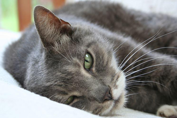 Gatto europeo  Pelo Corto  gatti europei