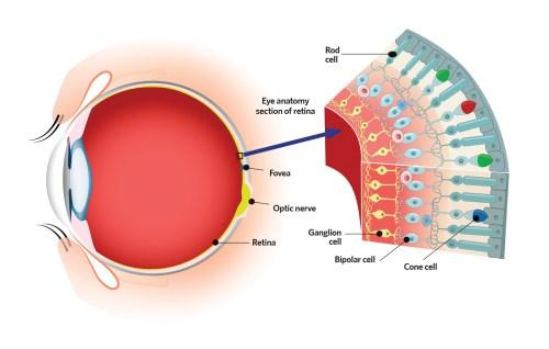 small resolution of figure 1 the human eye