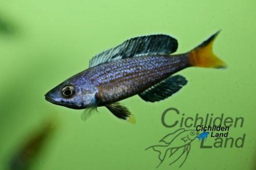 Cyprichromis