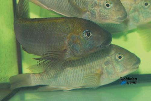 Petrochromis polyodon kasanga