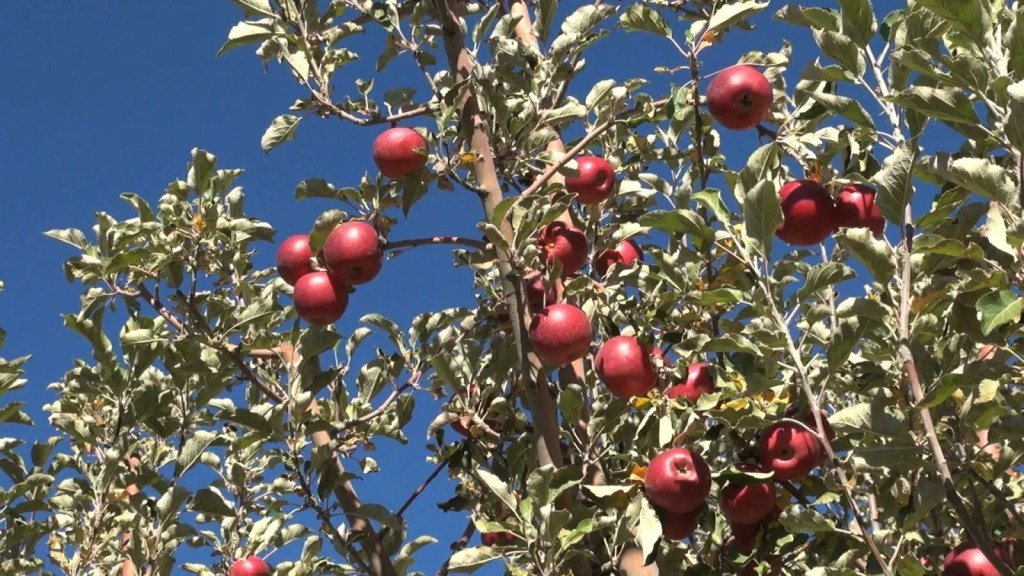 apples-tree