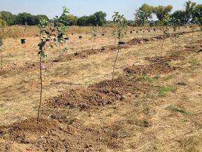 Planted apple trees, 2014