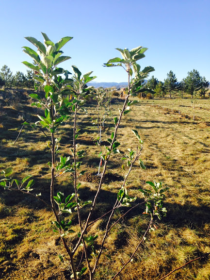 Turning Over A New Leaf: The Beginnings Of A Cider Apple Orchard