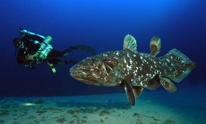 Fósseis vivos e o curioso caso dos celacantos