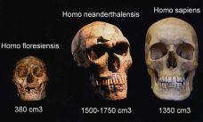 Capacidad craneal de tres especies humanas.