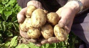 La patata lumper, favorita de los irlandeses