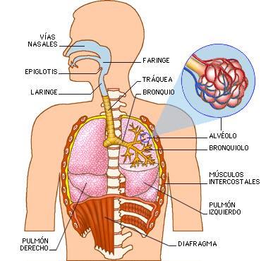 Ciencias Naturales Los Sistemas del Cuerpo humano | Ciencias ...