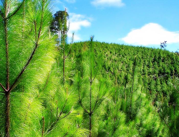Importancia del desarrollo forestal 1 ciencias for Plantas forestales
