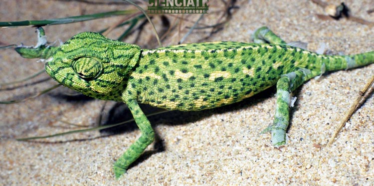 Resultado de imagen de camaleón rota