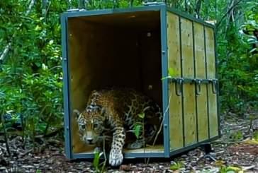 Liberan a jaguar (panthera onca) en la reserva, biosfera Sian ka´an