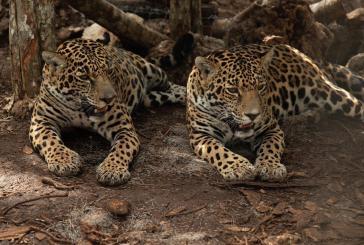Liberan dos jaguares hembra en su hábitat natural rescatadas en Calakmul