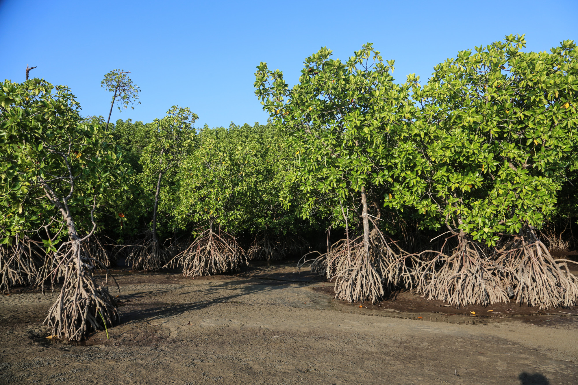 Mangroves and Blue Carbon | Asia Pacific Rainforest Summit ...  Mangroves and B...