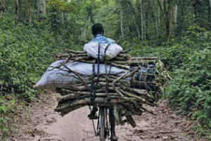 Fuel wood is the main source of energy for populations in the Congo basin. Photo: Olivier Girard
