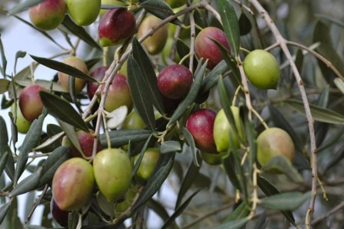 zeytinyağının kalitesi çiftçiden eve