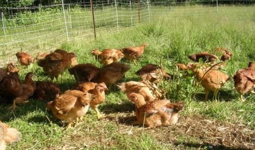serbest dolaşan tavuklar