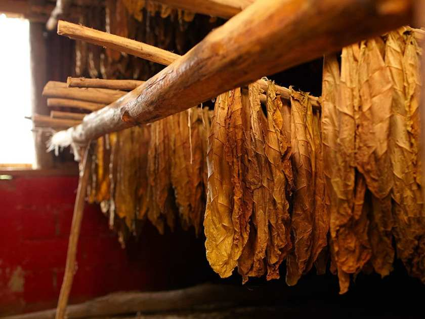 Drying tobacco leaves in a barn